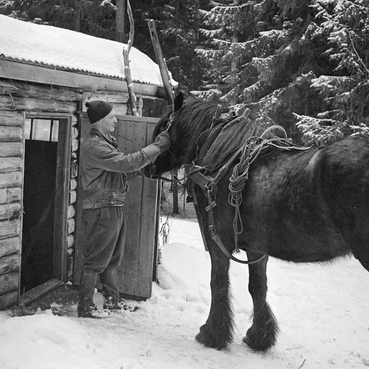 Tømmerkjøring, Svartholtet, Elverum, Hedmark. Tømmerkjører Johan Rasch (1916-2009) med dølahesten sin foran døra til stallen ved Smaltjernskoia i Svartholtet i Elverum. (Foto/Photo)