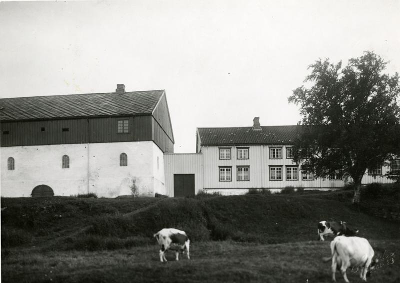 Beitende kyr ved Ringve gård.