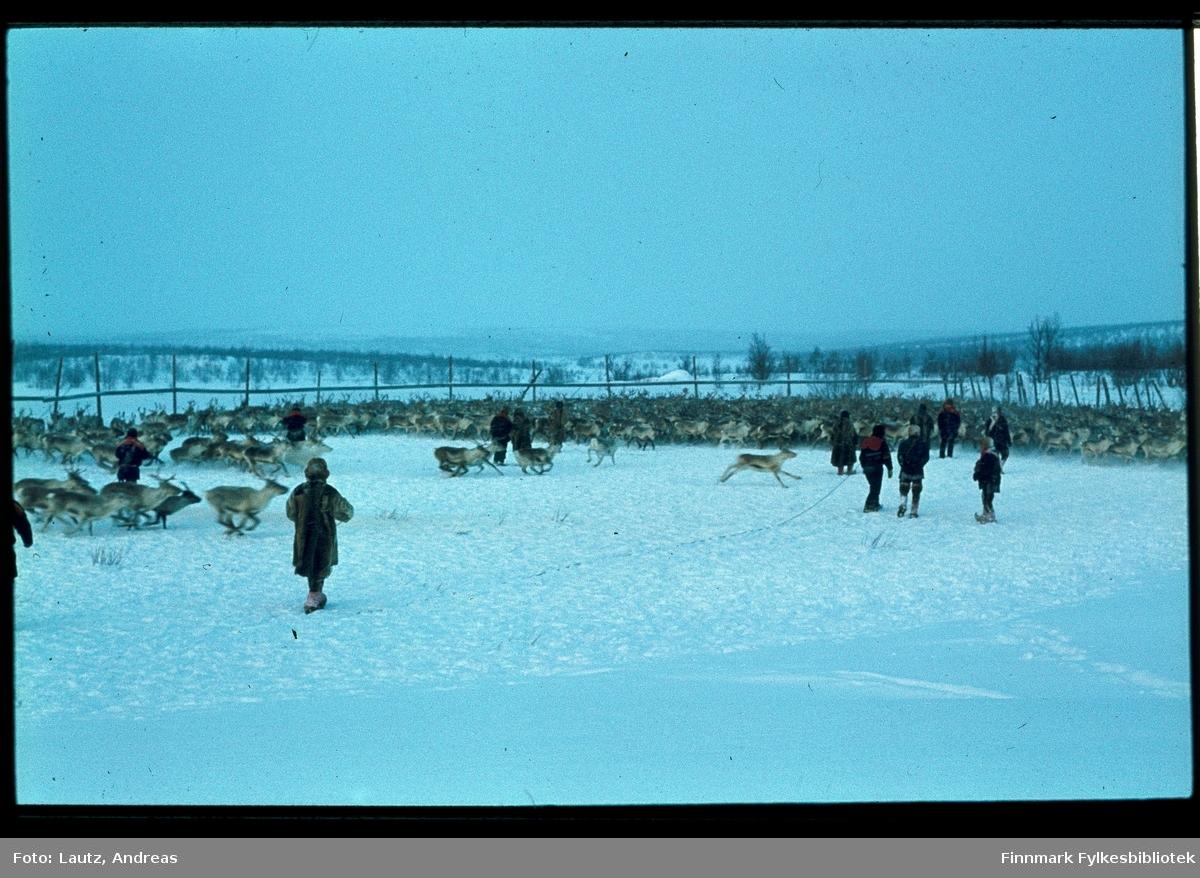 Karasjok i 1973. Reinskillegjerde ovenfor Karasjok.