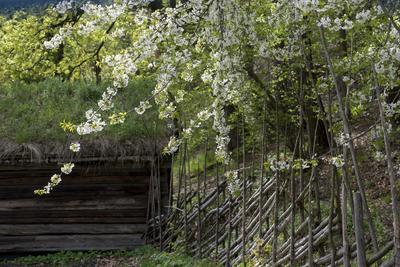 Blomstrende trær, skigard og tømmerbygning i Friluftsmuseet.
