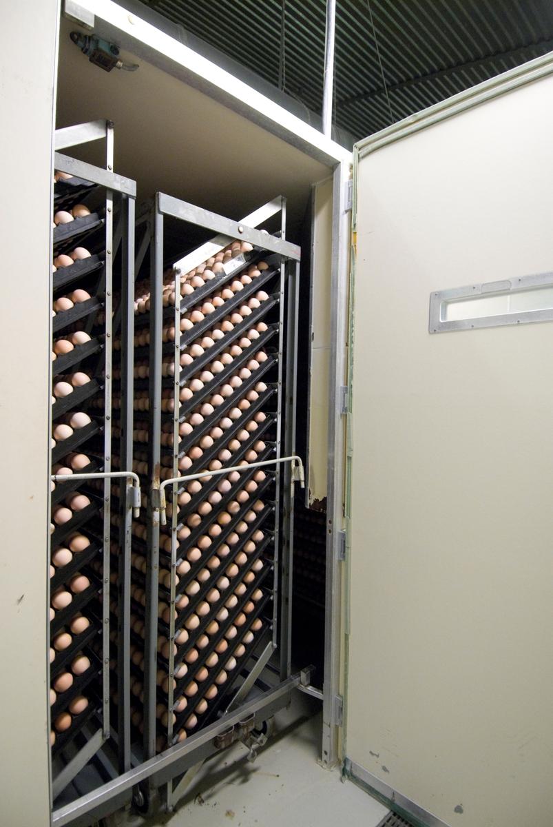 Varmeskap til utrugning av hønseegg i klekkeri  Eggene snus forsiktig rundt på skinner og holdes varme i regulert luft