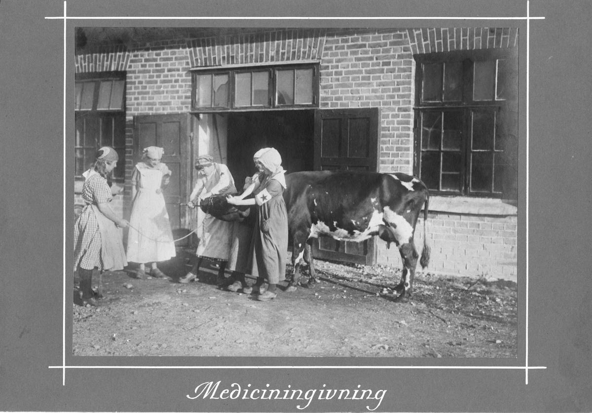 Medicinering av ko utanför ladugård Blå Stjärnans första kurs i allmän djurvård 1917.