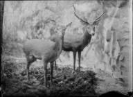 Diorama från Biologiska museets utställning om nordiskt djurliv i havs-, bergs- och skogsmiljö. Fotografi från omkring år 1900. Biologiska museets utställning Hjortdjur Hjort Kronhjort Cervus Elaphus (Linnaeus)