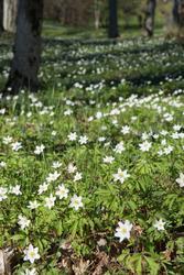 Tyresö slott, blommor i parken, vitsippa, gullviva, skilla,
