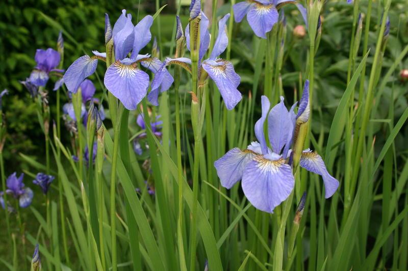 Sibiriris/Iris sibirica (Foto/Photo)