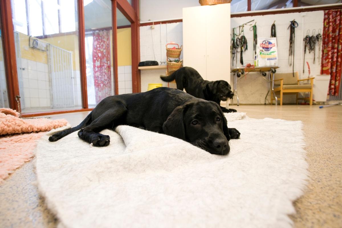 Førerhundskole. En sort labrador hviler seg på et pledd