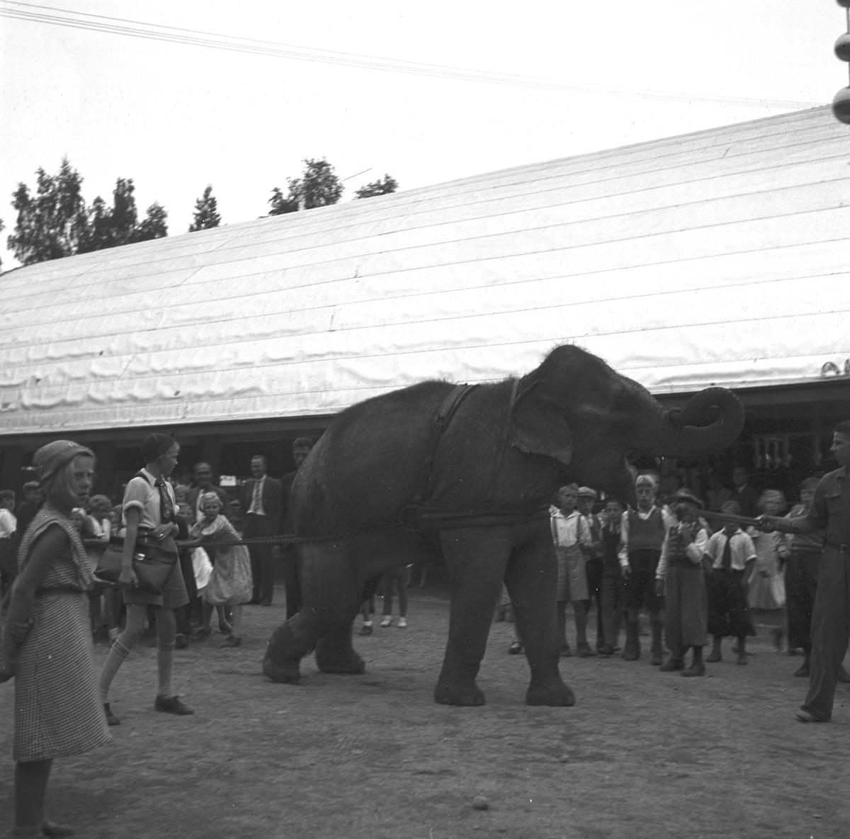 Furuvik. Elefant på promenad