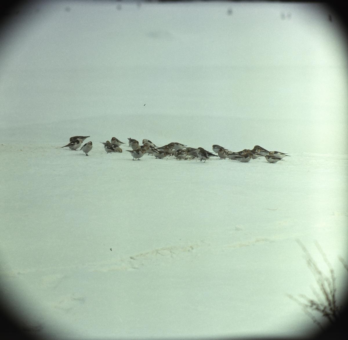 En flock snösparvar sitter på marken.