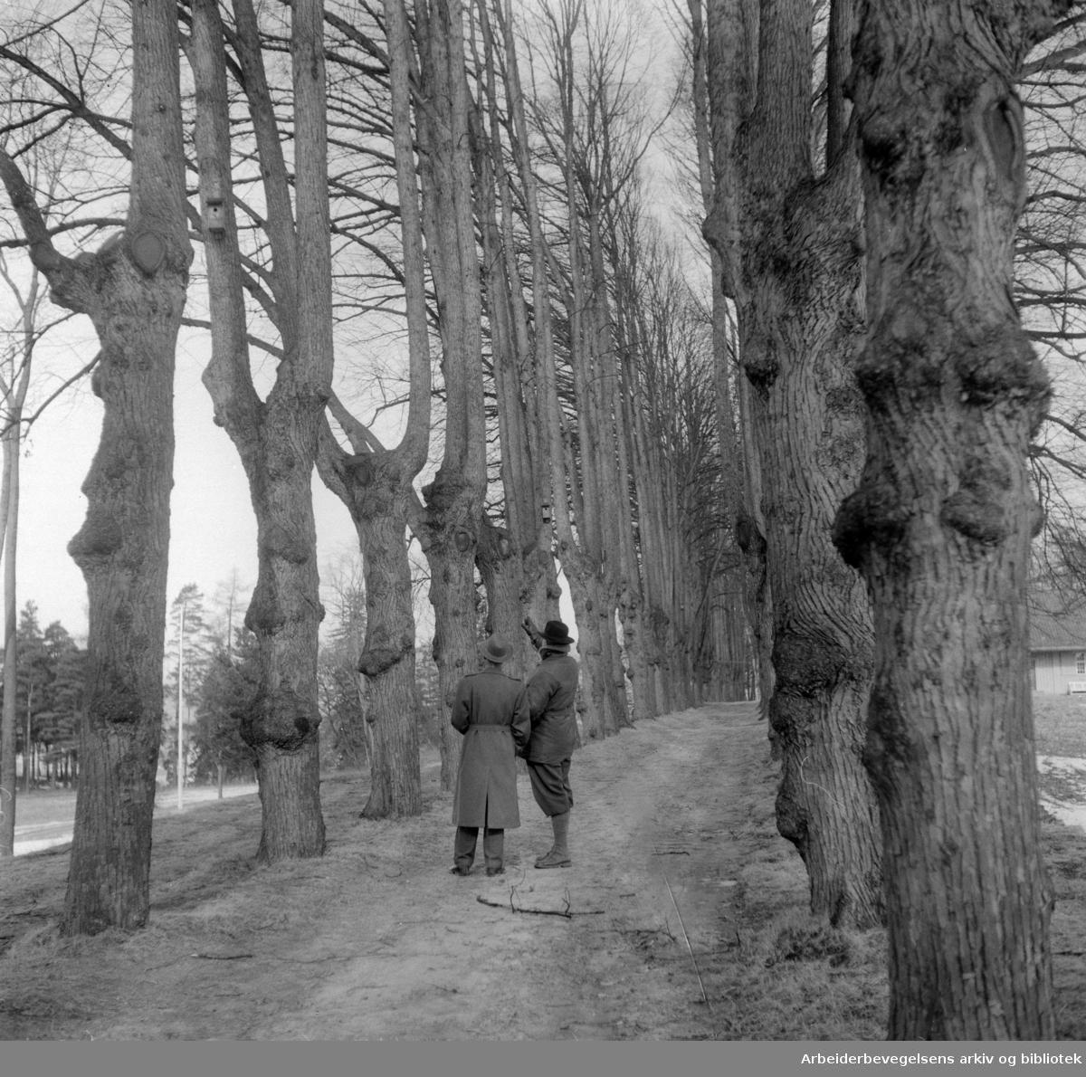 Nordre Skøyen Hovedgård.Alleen.Mars 1955