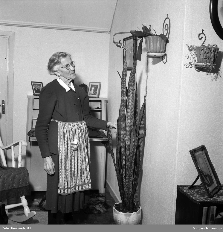 Fru Edla Nordberg med sina fina krukväxter. Porträtt.