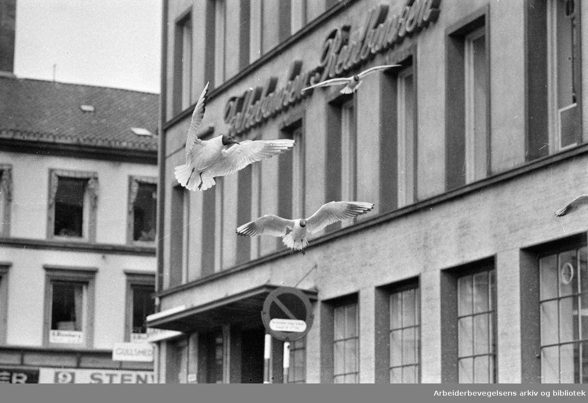 Youngstorget. Måkene begynner å bli konkurenter med duene. Juli 1965