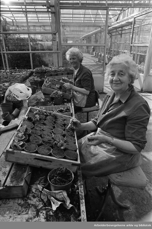 Nordre Hovin gård. Anna Solheim og Ella Engh med utplanting av isbegonia i potter. April 1976