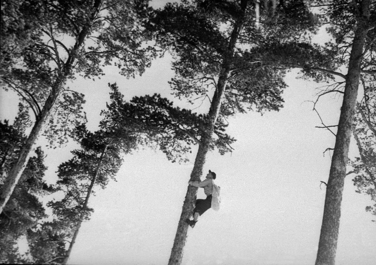"""Kongleklatring i furutre.  En mann med en striesekk hengende over hofteleddet er i ferd med i ta seg oppover den kvistfrie delen av stammen mot krona av treet.  Mye tyder på at han bruker klatrejern.  Omkring det treet mannen klatrer i står det flere andre store furuer.  Dette fotografiet er den niende illustrasjonen bildeserien """"Konglesanking"""", et bildeband Lasse Thorseth lagde fra Landbruksdepartementets film- og bildekontor i 1957.  Til bildeserien hører et teksthefte skrevet av forstkandidat, byråsjef og frørådsleder Toralf Austin.  Til dette fotografiet har Austin skrevet følgende kommentar:  """"Sanking oppe i trær Konglesankingen foregår på forskjellige måter.  Ikke alle er så farlige som denne.  I gode frøår organiserer Statens Skogfrøverk spesielle klatregjenger eller sankegjenger som i stor utstrekning skal lære å sanke fra stående trær.  De plukker i sekker som de har bundet fast rundt seg.  I enkelte landsdeler er det bare spesielle sankegjenger som sanker kongler, særlig når en bare skal ha kongler av visse fremmede treslag og såkalte frøavlsbestand.   Men de fleste steder er det foreløpig slik at alle som vil kan delta i sankingen. """""""