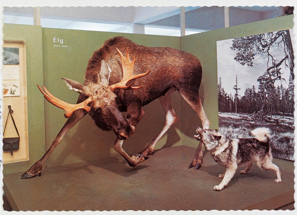 Elgmontasjen i den jakt- og fangstutstillingen som ble åpnet på Norsk Skogbruksmuseum i Elverum i juni 1972.  Montasjen viser stålos – en elgokse som er opptatt av en gjøende grå elghund på cirka en meters avstand – og så er det opp til publikum å tenke seg at de er jegere som kan manøvrere seg i skuddposisjon mens skogens konge er opptatt av den lille, bråkete og irriterende forfølgeren.  Dyra er utstoppet i naturtro positurer, mens omgivelsene er stiliserte.  De står på et noenlunde kvadratisk podium av brunmalte sponplater.  Mot to av sidene er de skjermet mot tilstøtende utstillingsmontasjer ved hjelp av grønnmalte sponplater i cirka to meters høyde.  På baksida av disse er det festet 2X2-toms gråmalte stendere, som er forankret i taket ved hjelp av fjærbelastete beslag med endepigger.  På utstillingsplatene finner vi i tillegg til betegnelsene «Elg» og «Alcus alcus» og et stort svart-hvitt-bilde fra et myrområde omgitt av skog.  Fotografiet skulle vise artens foretrukne biotop.  I ei glasskasse helt til venstre i bildet skimtes ei lita jaktveske, samt tegning, fotografi og en liten tekst om dyregraver, som ble brukt i fangst på denne arten.  Motivet er fra ett av flere postkort som ble brukt til å markedsføre utstillingen og museet.  Elgen på bildet ble felt av jegeren Hans Berger ved Søndre Lemtjern i Slemdalen i Åmot i Østerdalen, nettopp på den måten montasjen viser.  Formgivinga er utført i samarbeid mellom preparant (taksidermist) Per Lynne, utstillingskonsulent Jostein K. Nysæther og zoologen Edvard K. Barth.   Beskrivelse av jakta der Hans Berger skjøt den avbildete elgen, og litt om prosessen som førte til at den i utstoppet form ble en attraksjon ved Norsk Skogmuseum, finnes under fanen «Andre opplysninger».