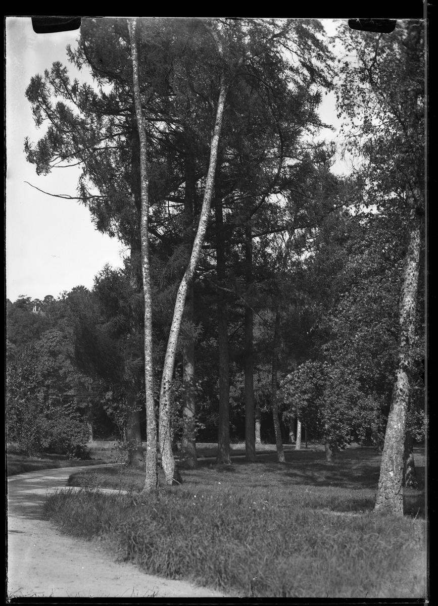 Smala höga träd står vid sidan av en grusgång i Nolhaga park.
