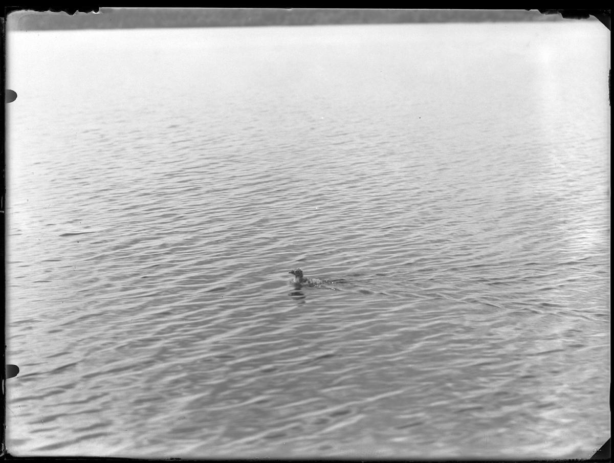 En simmande måsunge.