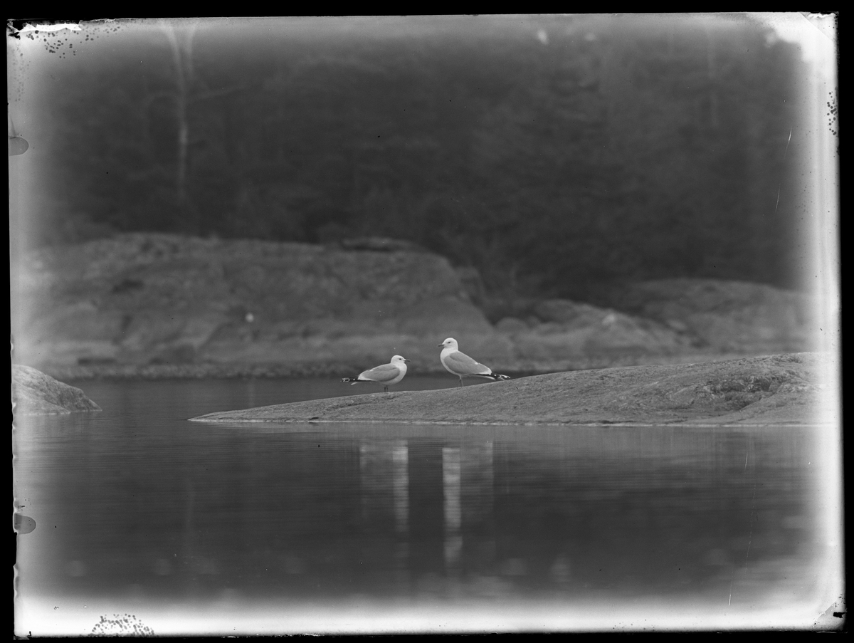 Två måsar fotograferade på klippor vid en sjö.