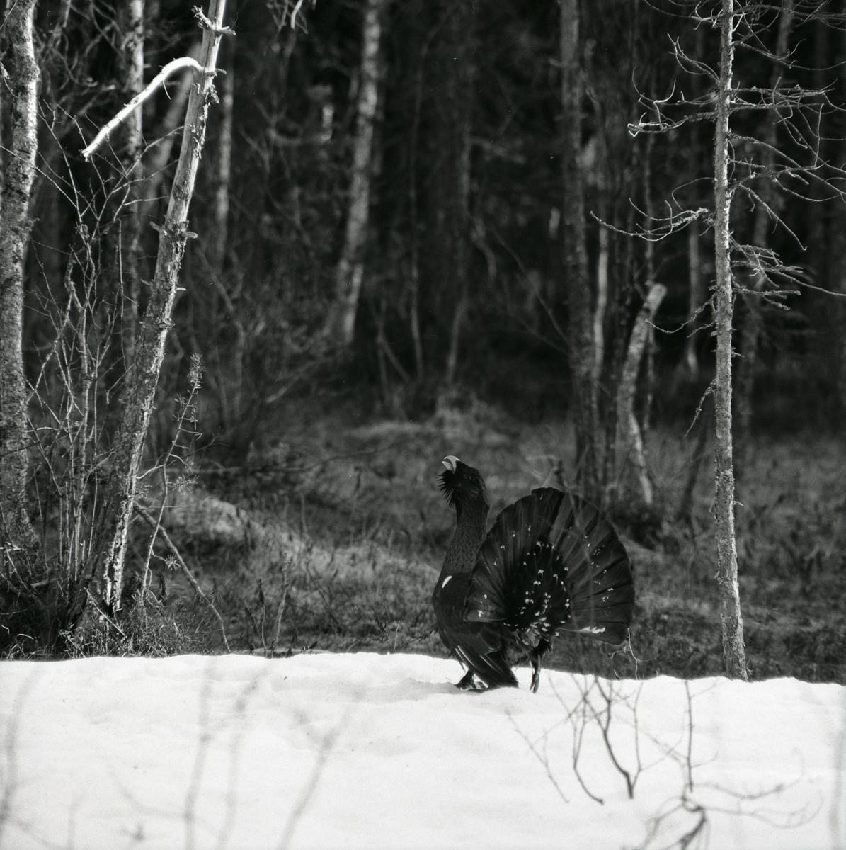 En tjäder står på snö och spelar i skogen, våren 1975.