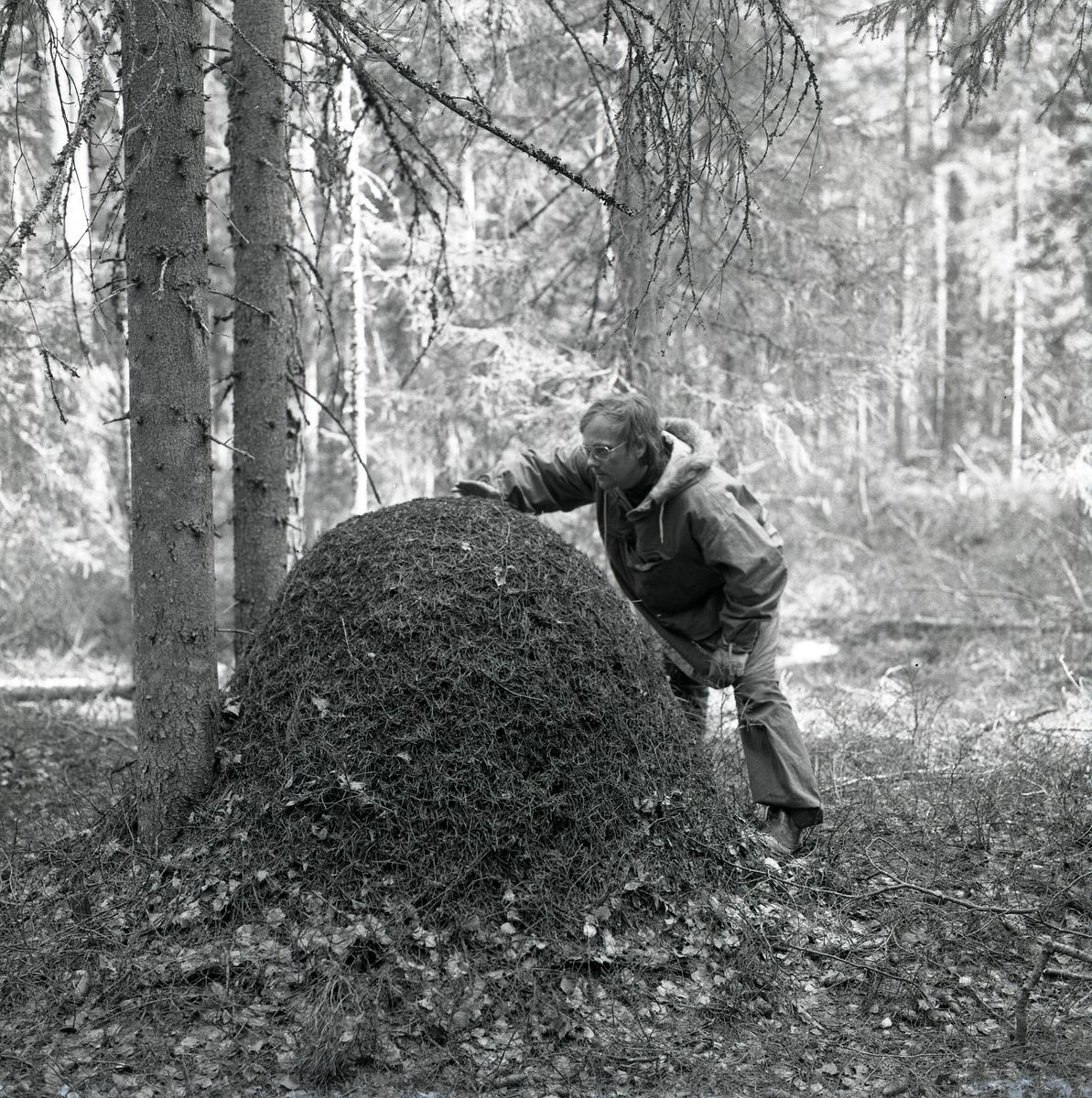 En man håller handen över en stor myrstack våren 1975.