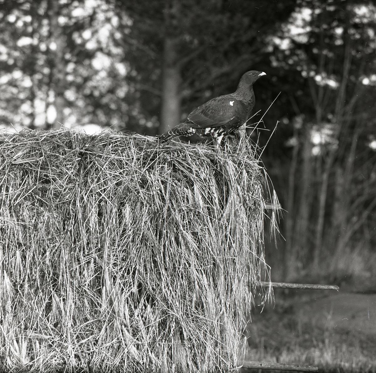 Tjäder som sitter på en hässja i ett skogsbryn 9 oktober 1957.