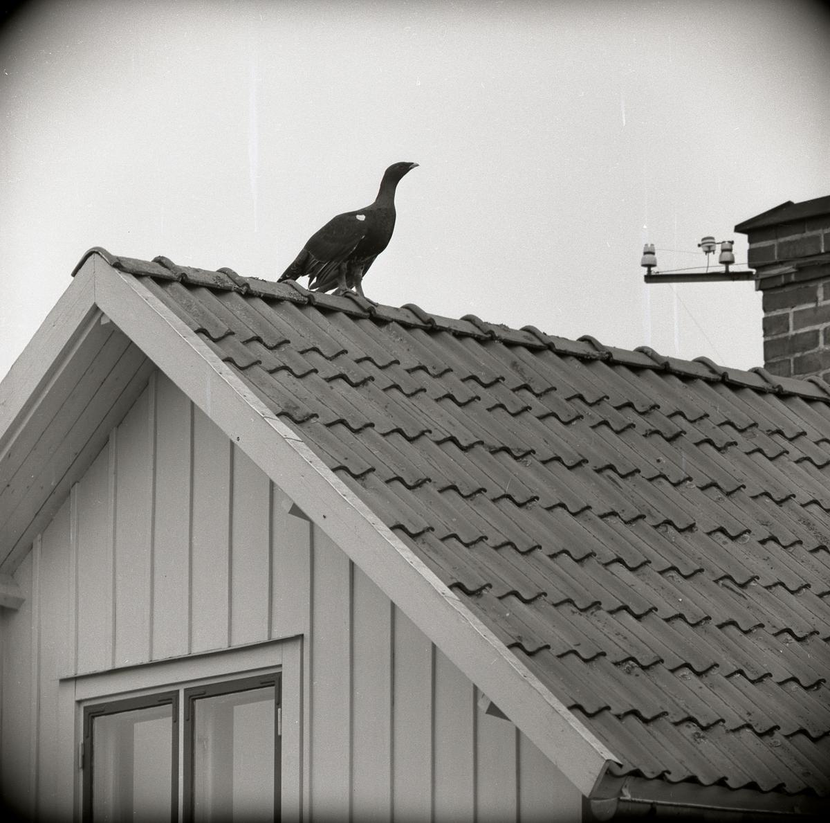 En tjäder sitter högst upp på ett hustak 9 oktober 1957.