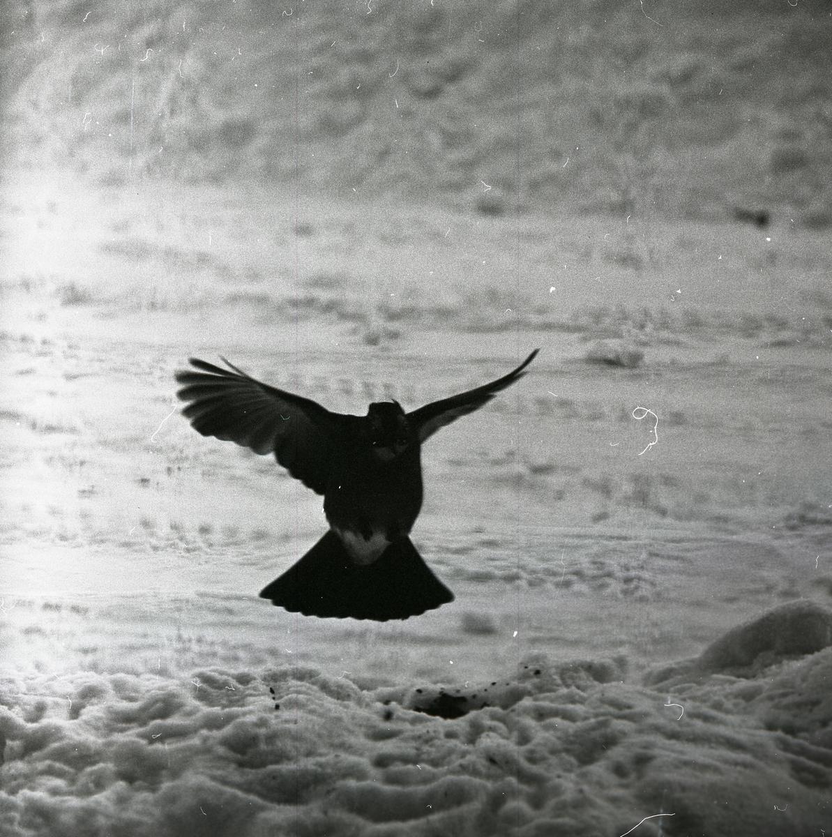 En nötskrika på väg att landa i snön, vintern 1966.