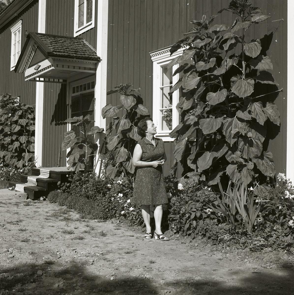 En kvinna tittar på växterna framför bostadshuset på gården Sunnanåker, 1970.