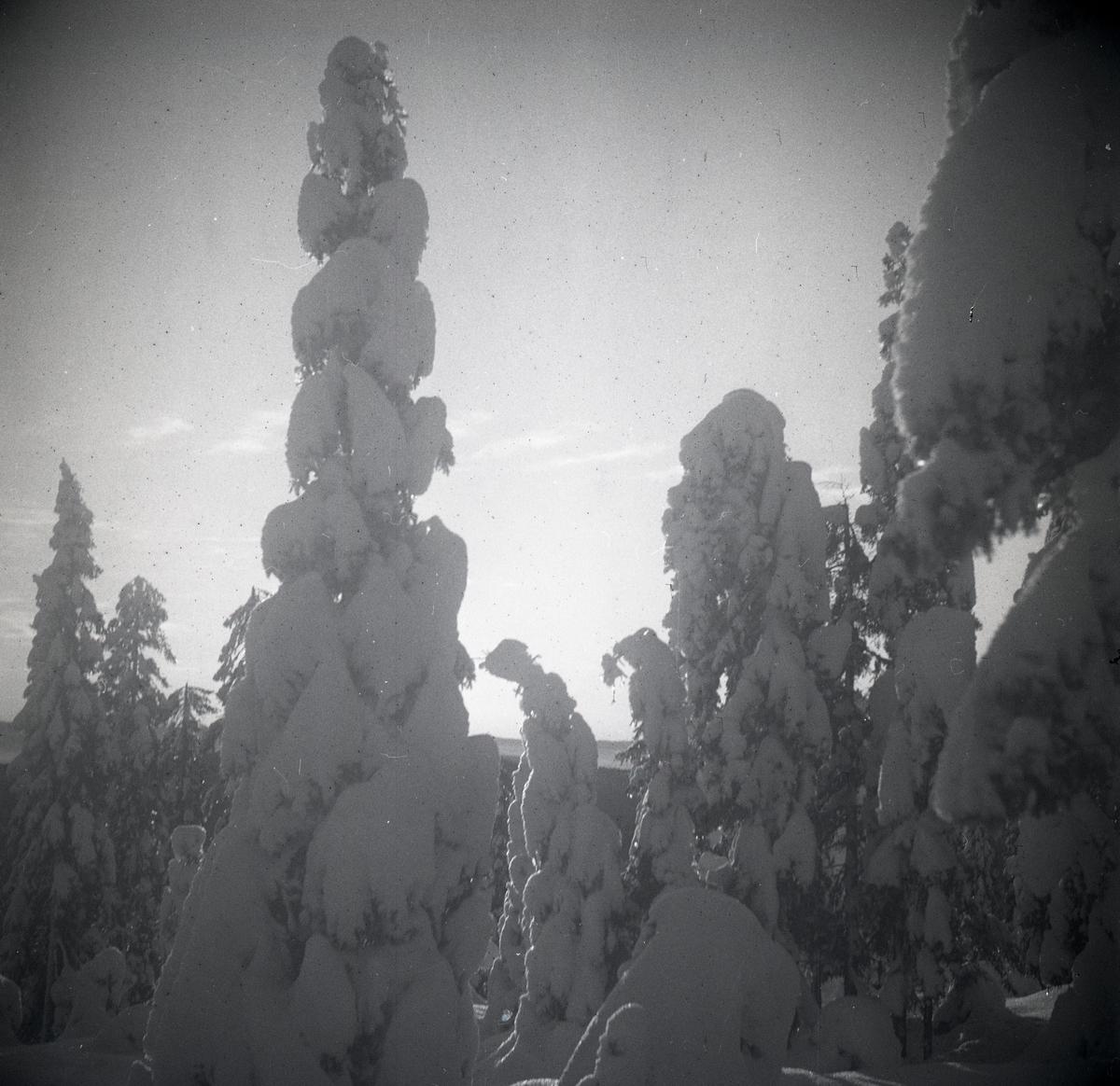 Snötyngda granar och blek vintersol på Skogberget i januari 1948.