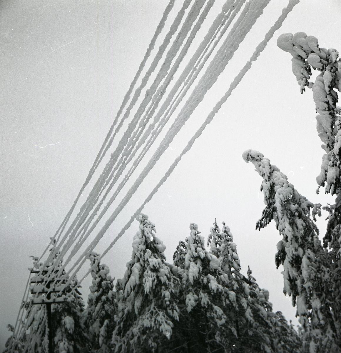 Snötyngda telefonledningar och granar i januari 1967.