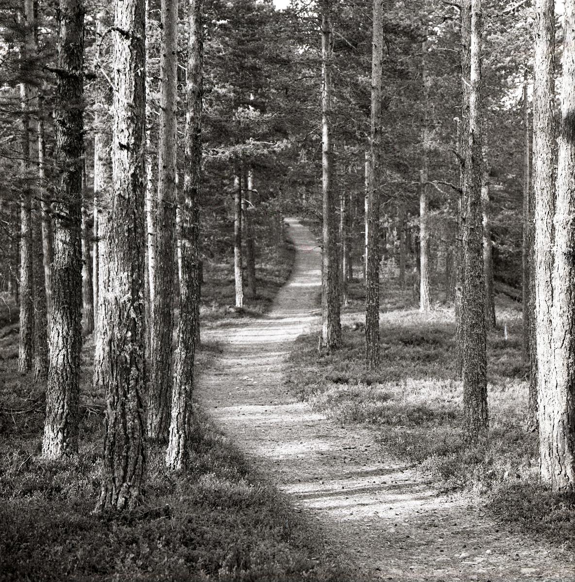 En väg går genom en tallskog vid Åsvägen i Östra Höle, 6 oktober 1966.
