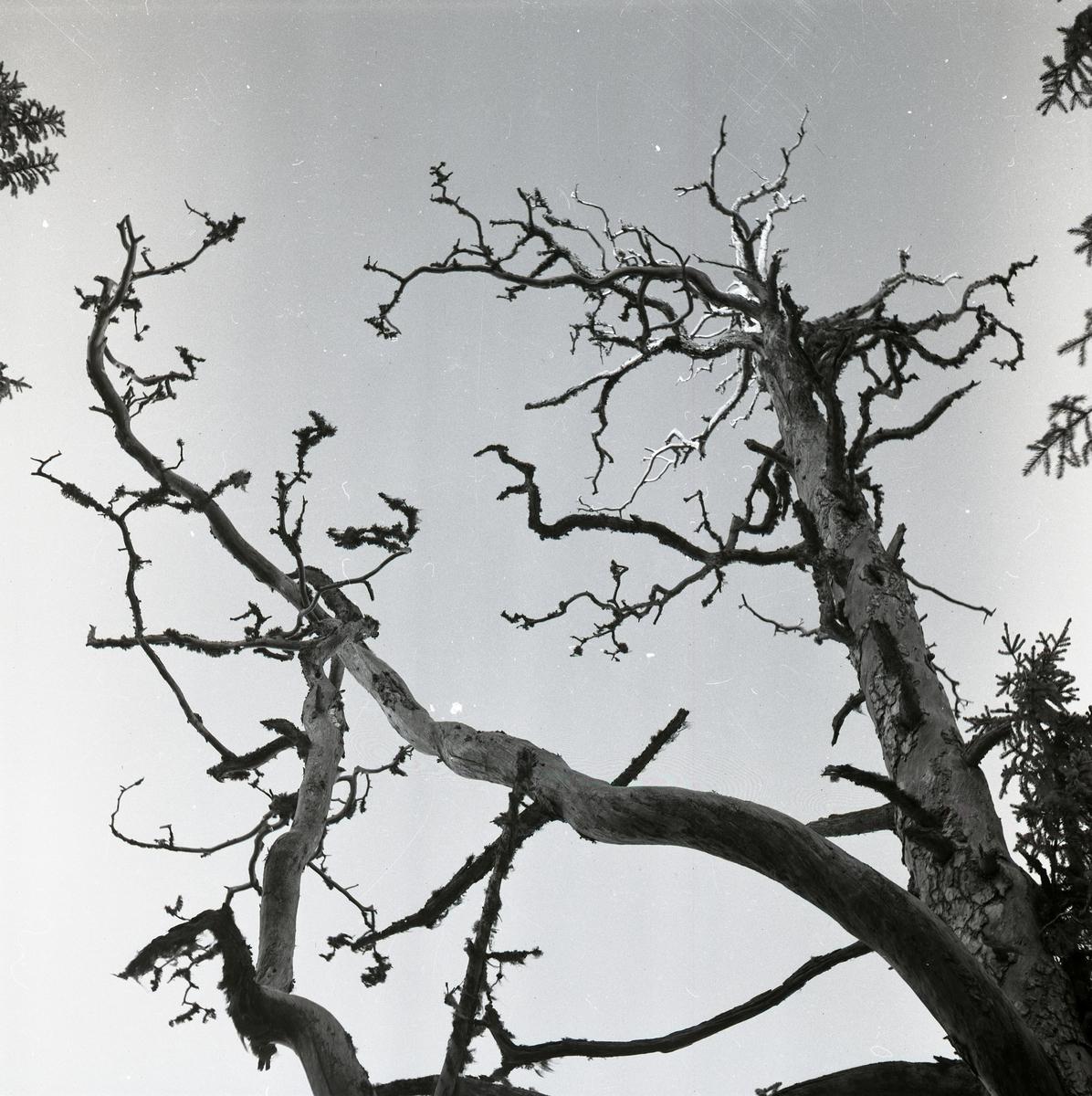 En dött träd med kala grenar, så kallad torrake, på Moberget den 25 januari 1953.