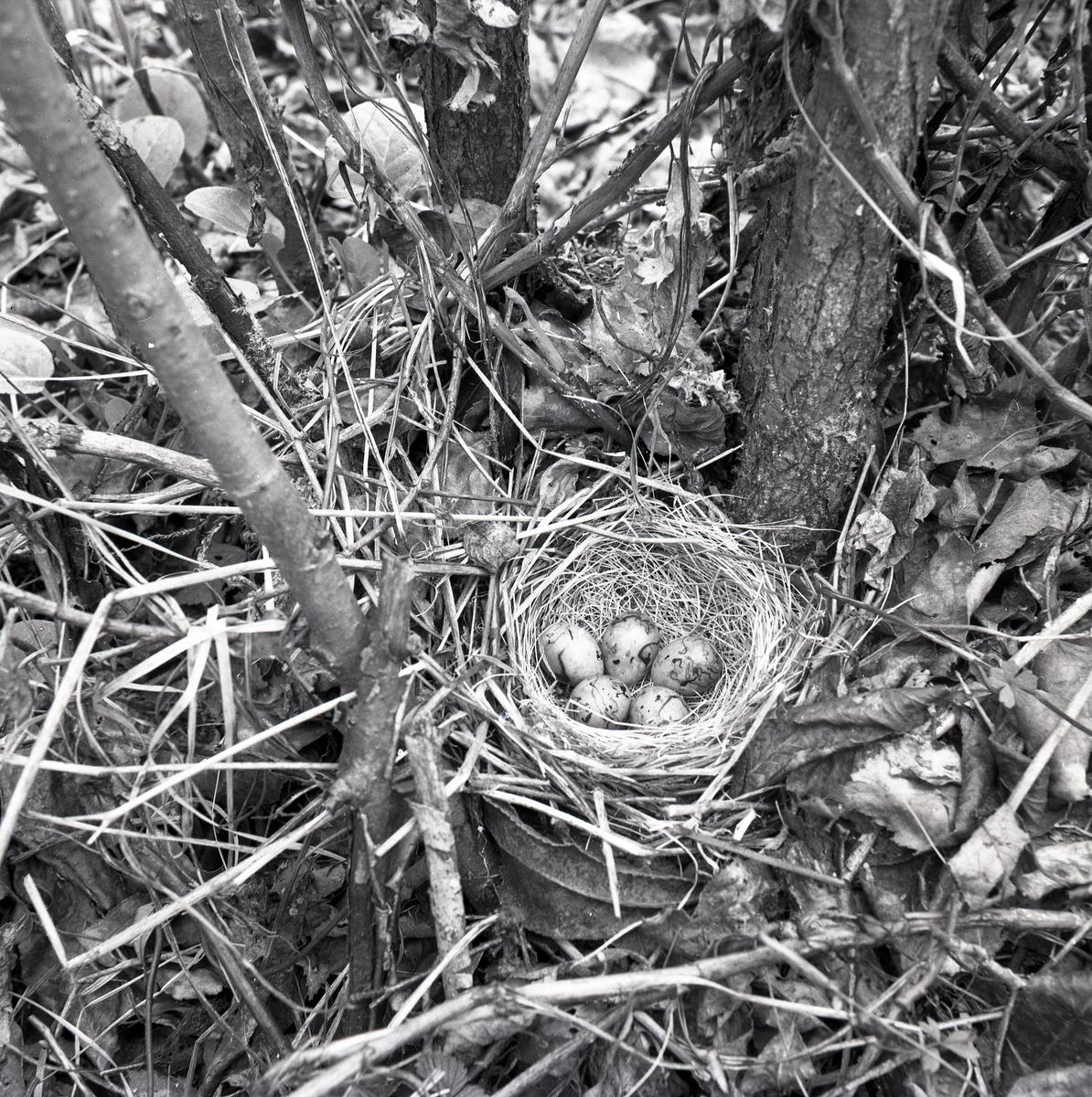 Ett fågelbo med sävsparvägg den 25 februari 1952.