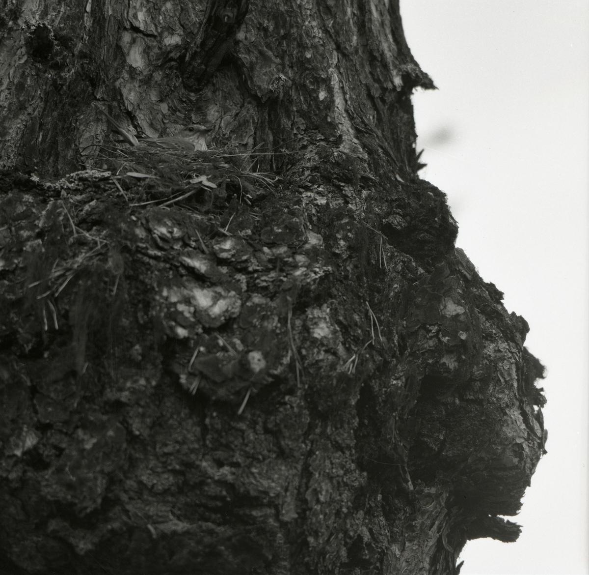 En grå flugsnappare ligger i sitt bo på en tall, 1954.