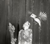 En grå flugsnappare matar sin unge som sitter på en stubbe, 1953.
