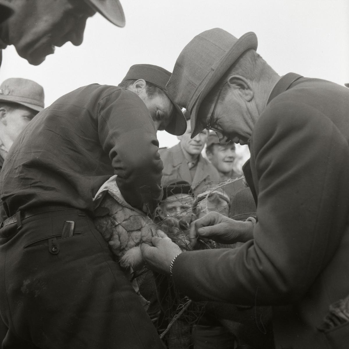 En grupp män tar hand om några harar som fastnat i ett nät på Storön, 6 oktober 1957.
