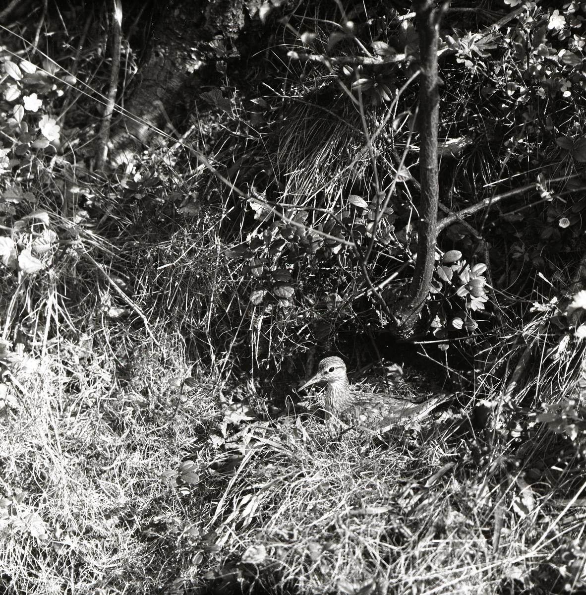 En drillsnäppa i sitt bo bland gräs och grenar.