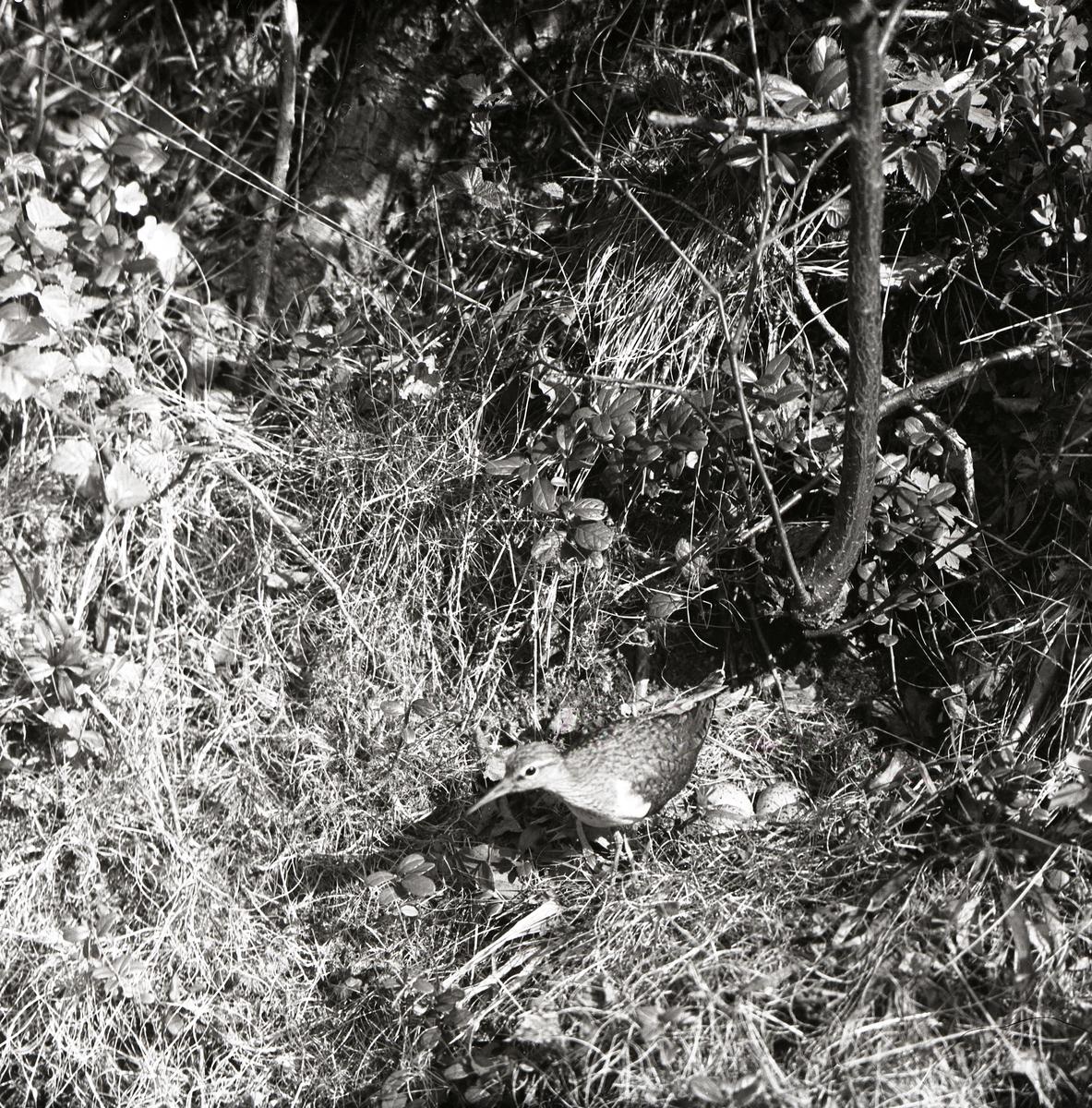 En drillsnäppa vaktar sitt bo med ägg. Boet är placerat på marken bland grenar och blad.