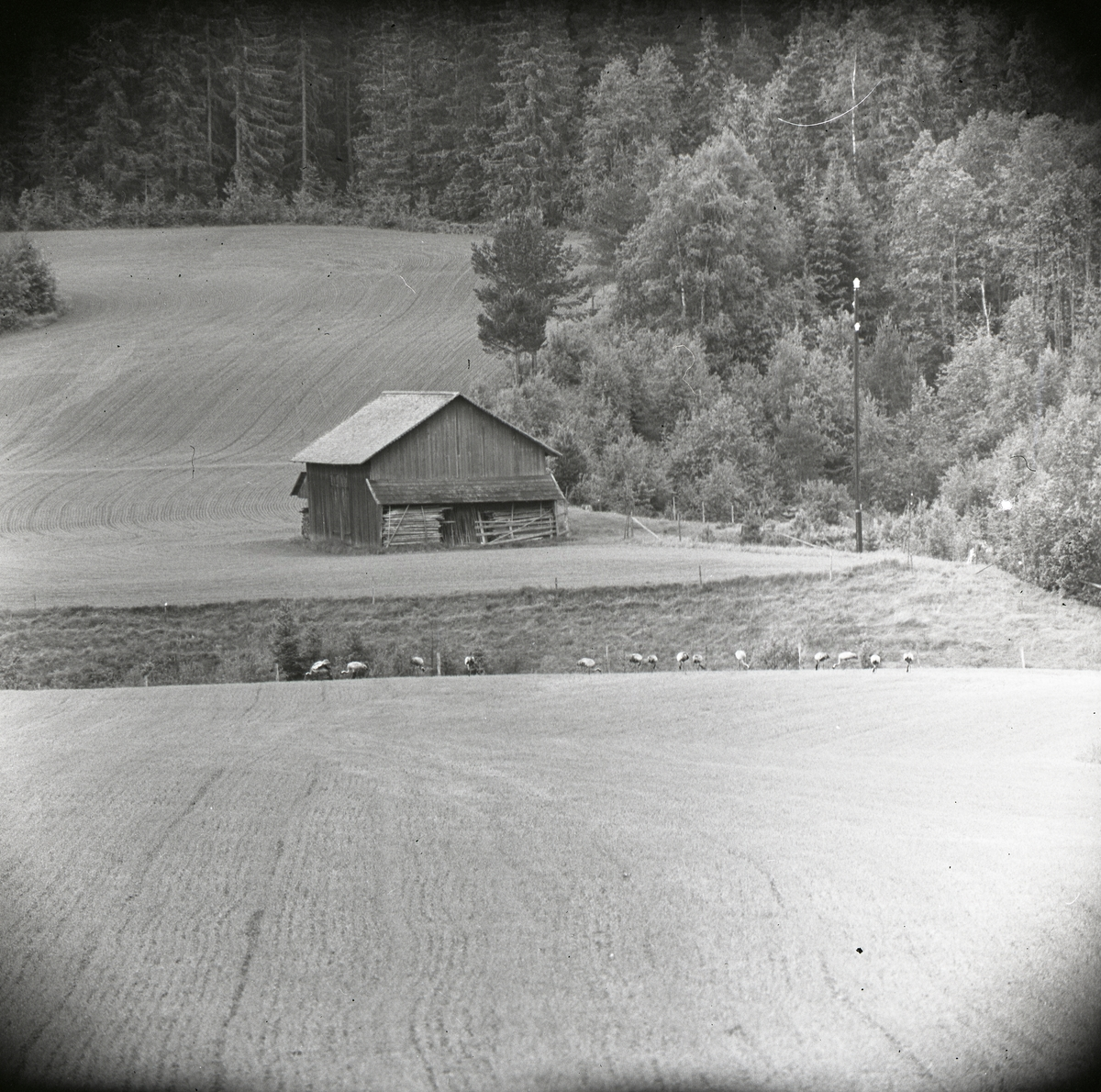 En flock tranor står på ett fält bredvid en hägnad intill gården Sunnanåker, juni 1962.