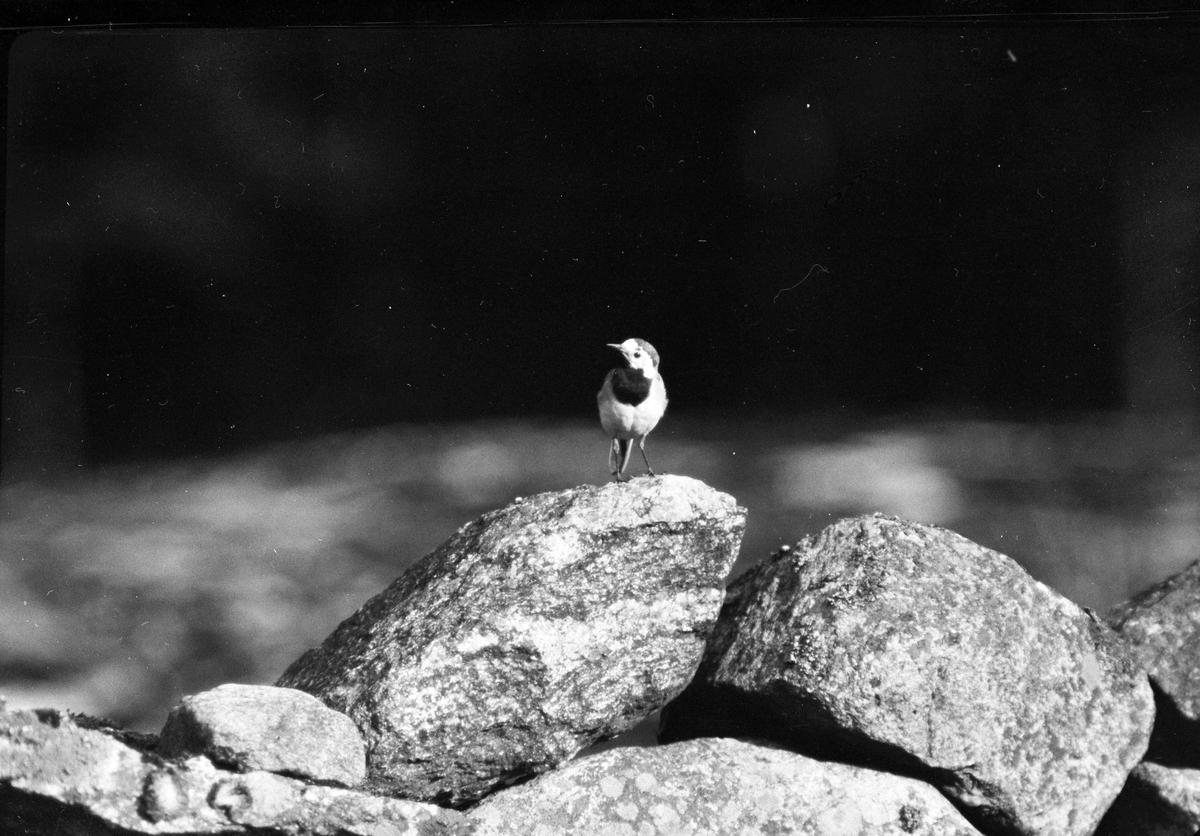 """En fågel med sitter på ett litet stenröse. I fotografens anteckningar står det """"35 films fr. semester på Halö""""."""
