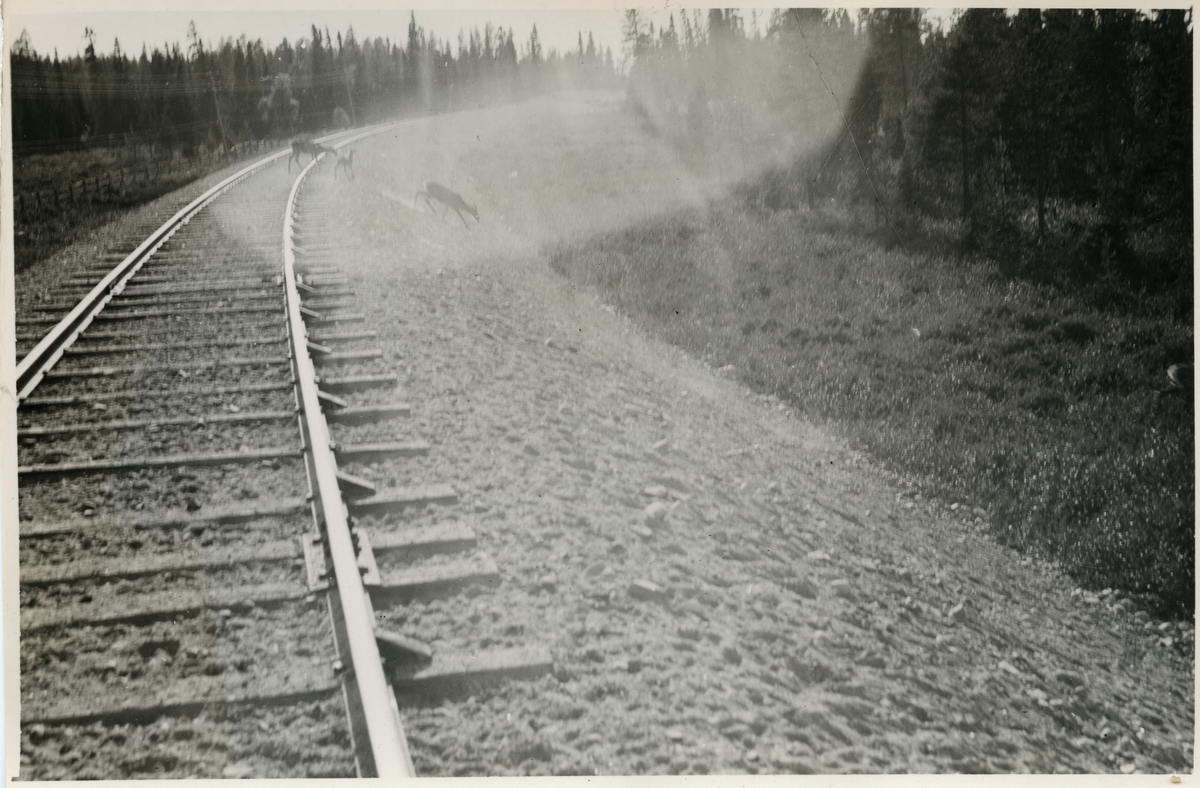 Renar på spåret längs sträckan Sorsele - Jokkmokk.