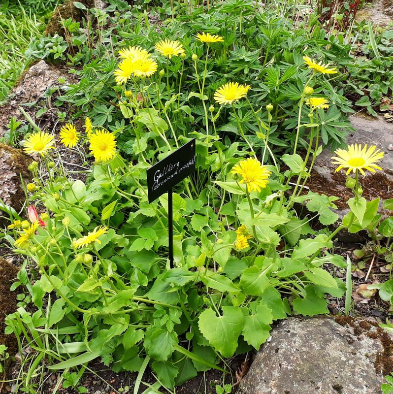 Balkangullkorg i full blomst. Foto: AGC