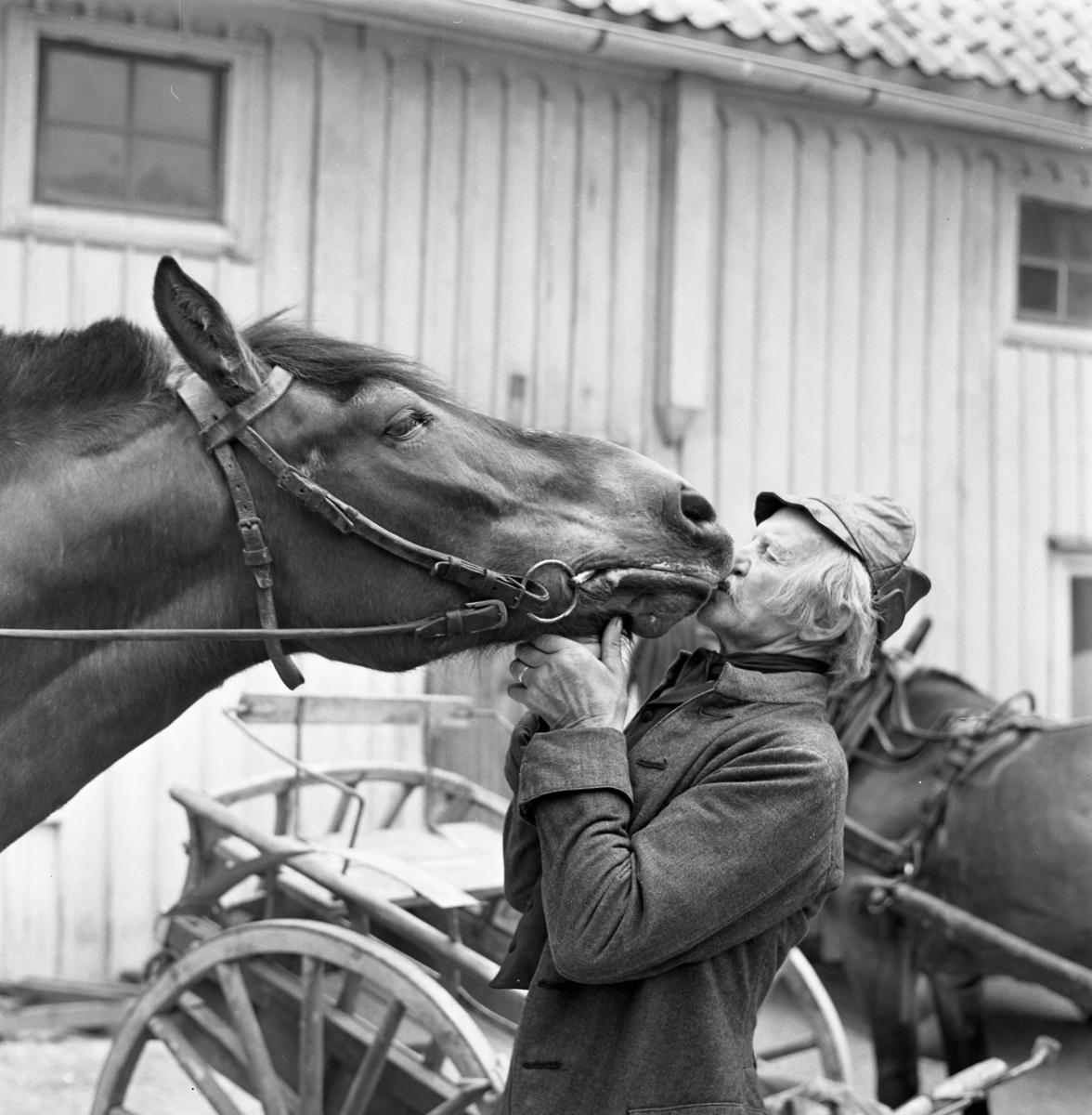 Kusken Gustav Jansson med sin nordsvenska häst Tonyson. En vagn och en annan häst skymtar i bakgrunden.
