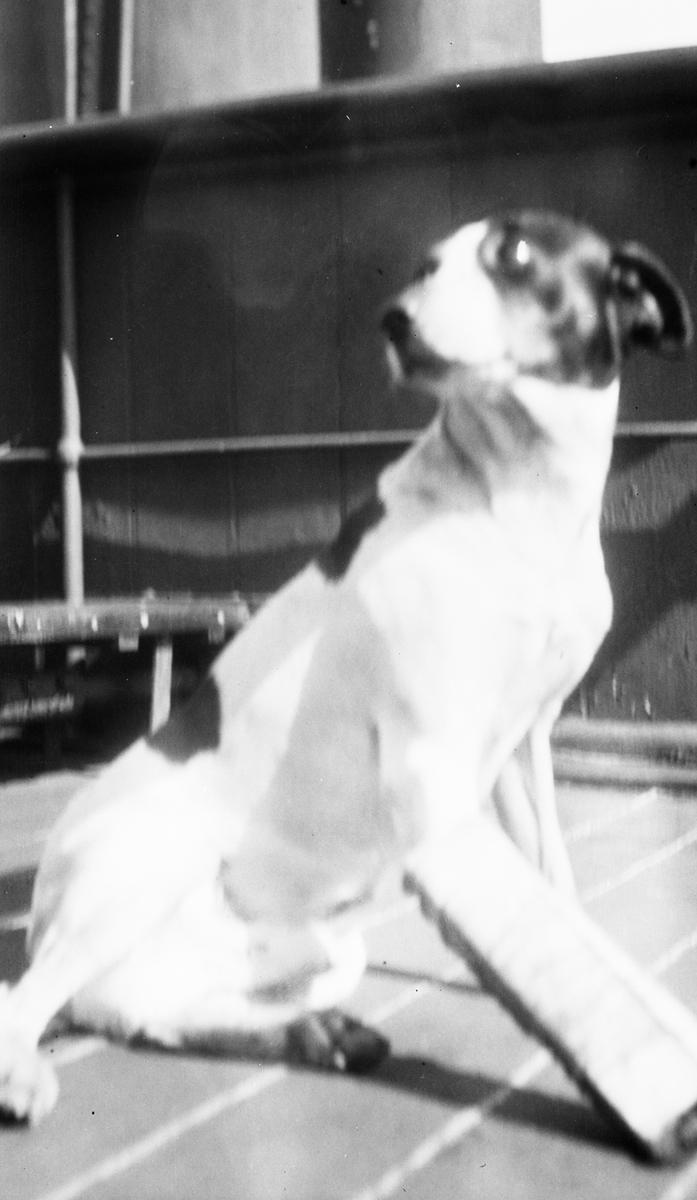 Skipshunden Pan med spjelket forbein. Han skal ha blitt reddet fra livbåten til den britiske skonnerten CONSTANCE MARY, som ble torpedert i den engelske kanal.