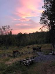 Solnedgang, Skålbergsætra, kyr, sætervangen (Foto/Photo)