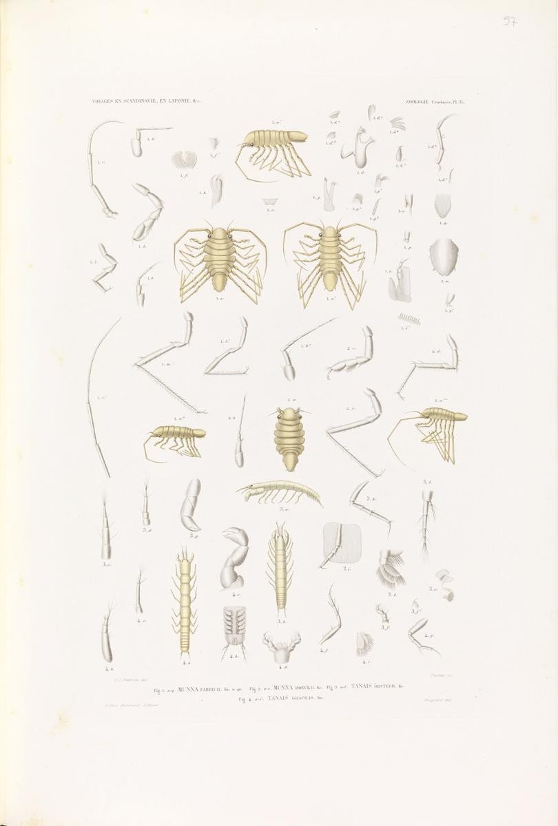 Munna fabricii; Munna boeckii; Tanais örstedii; Tanais gracilis [Grafikk]