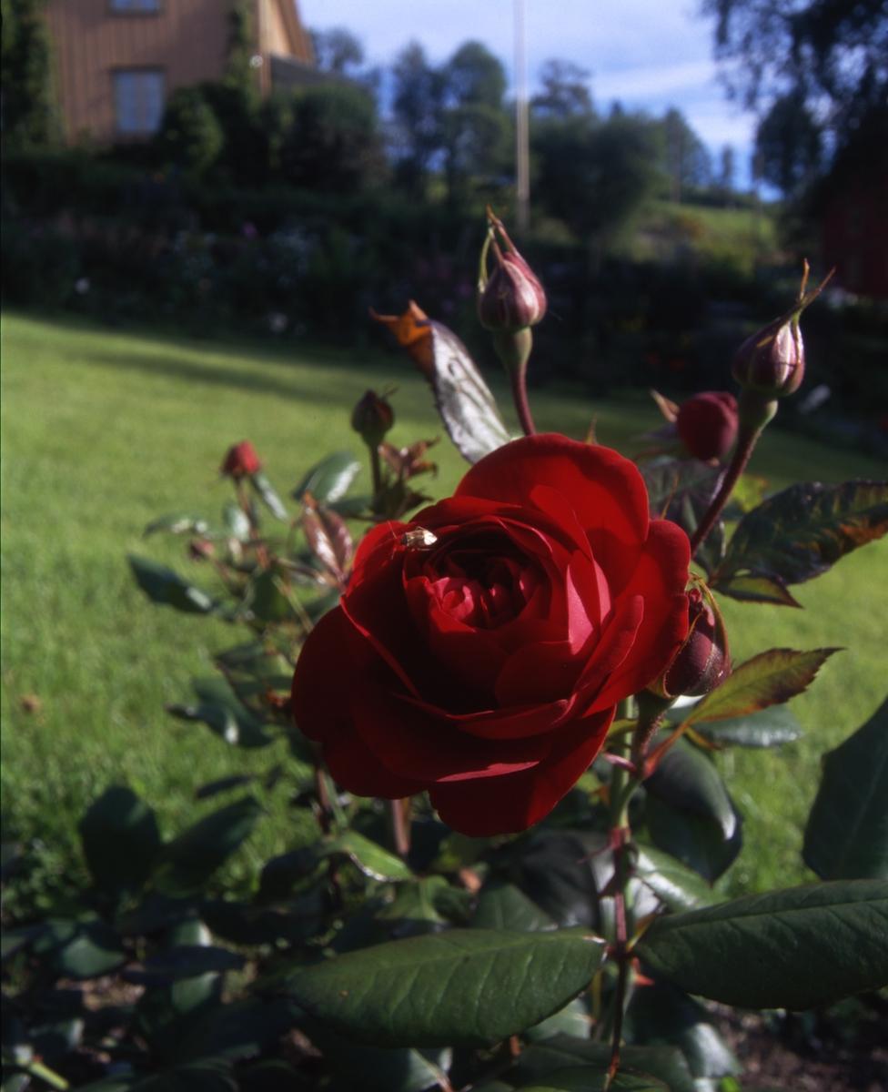 DOK:2000, Aulestad, hage, blomster,
