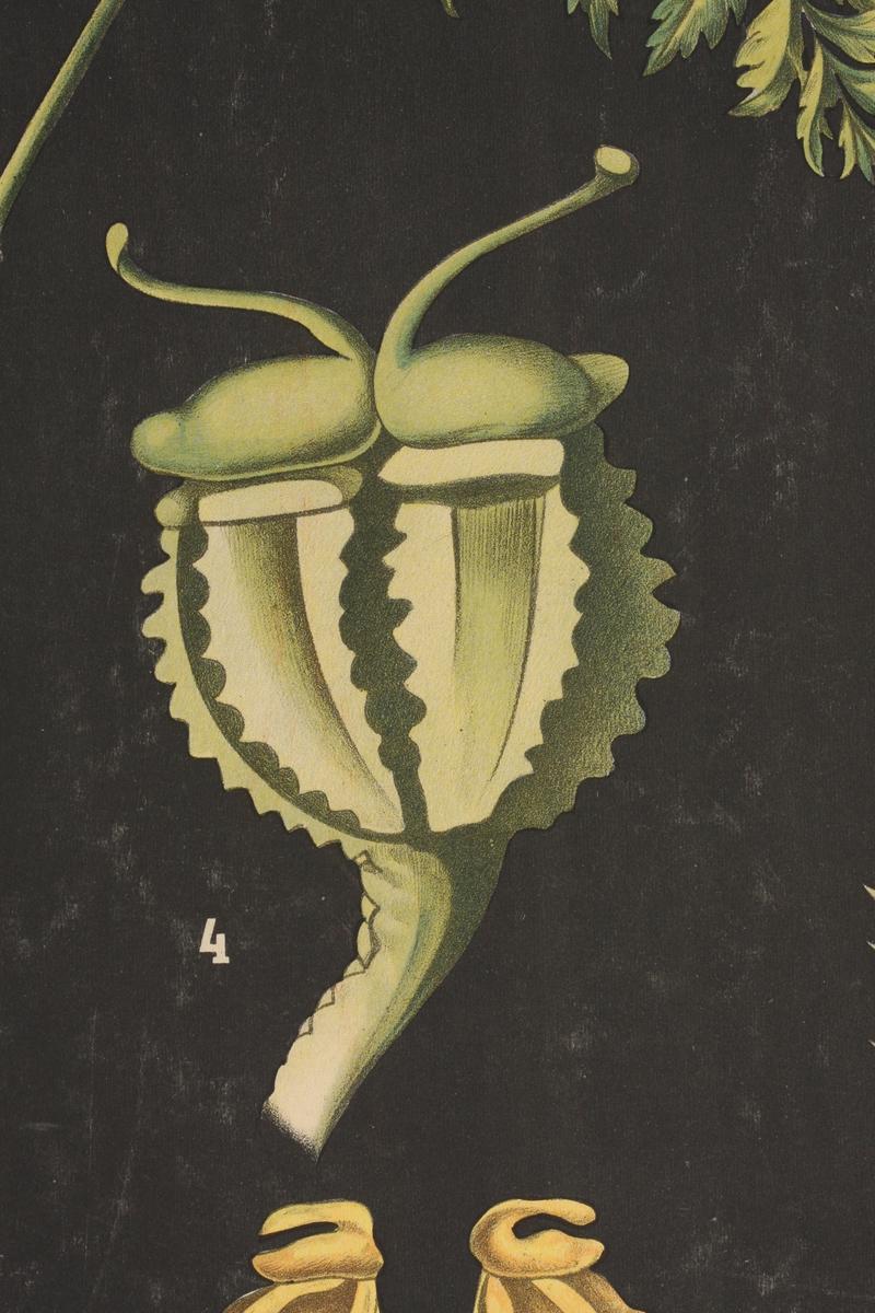 Blomster og røtter hos Giftkjeks (Skarntyde)og gulrot med forklaringer.