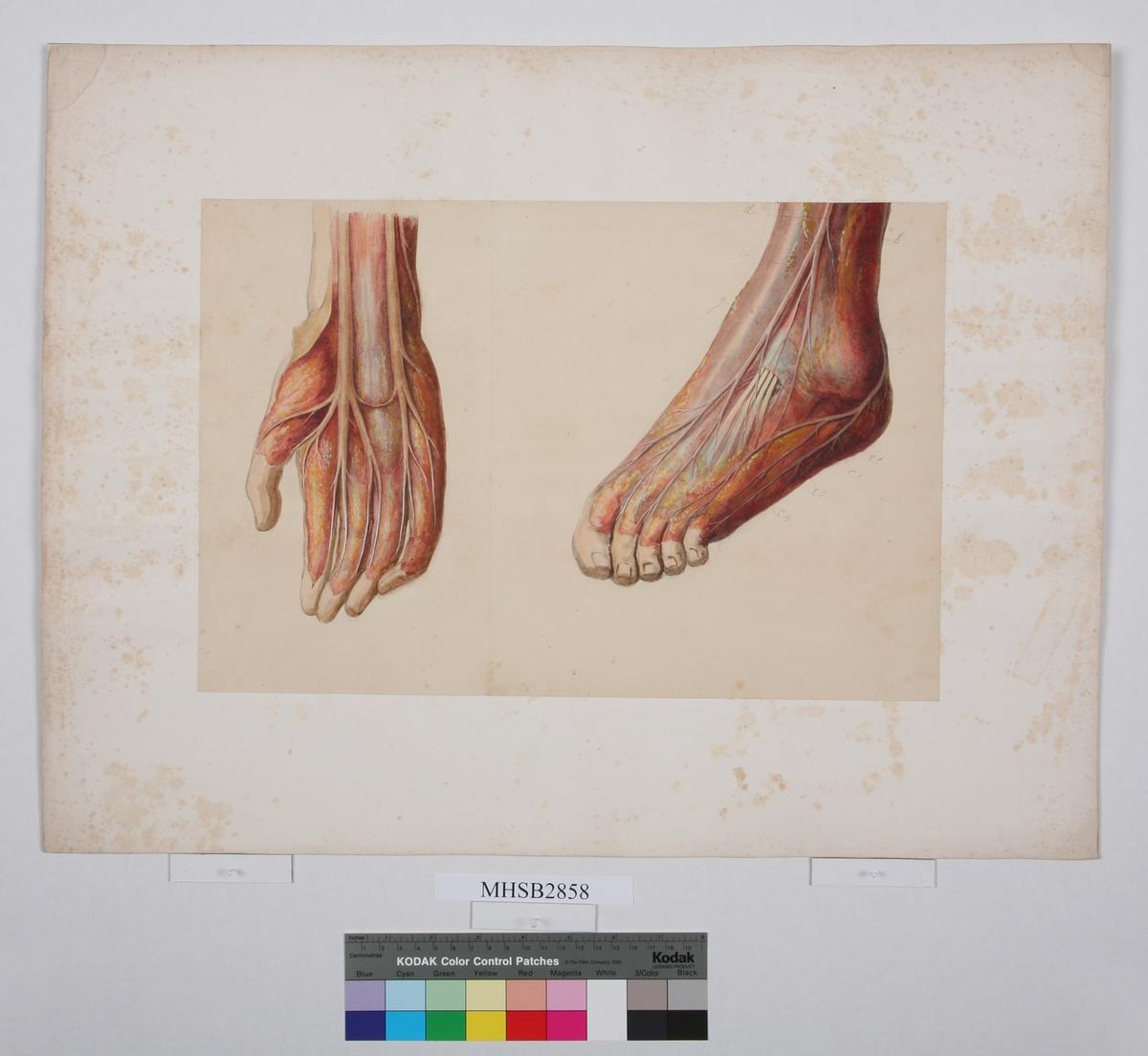 Hånd og fot Viser sener og blodårer Bokstaver/tall påført de ulike blodårene med blyant