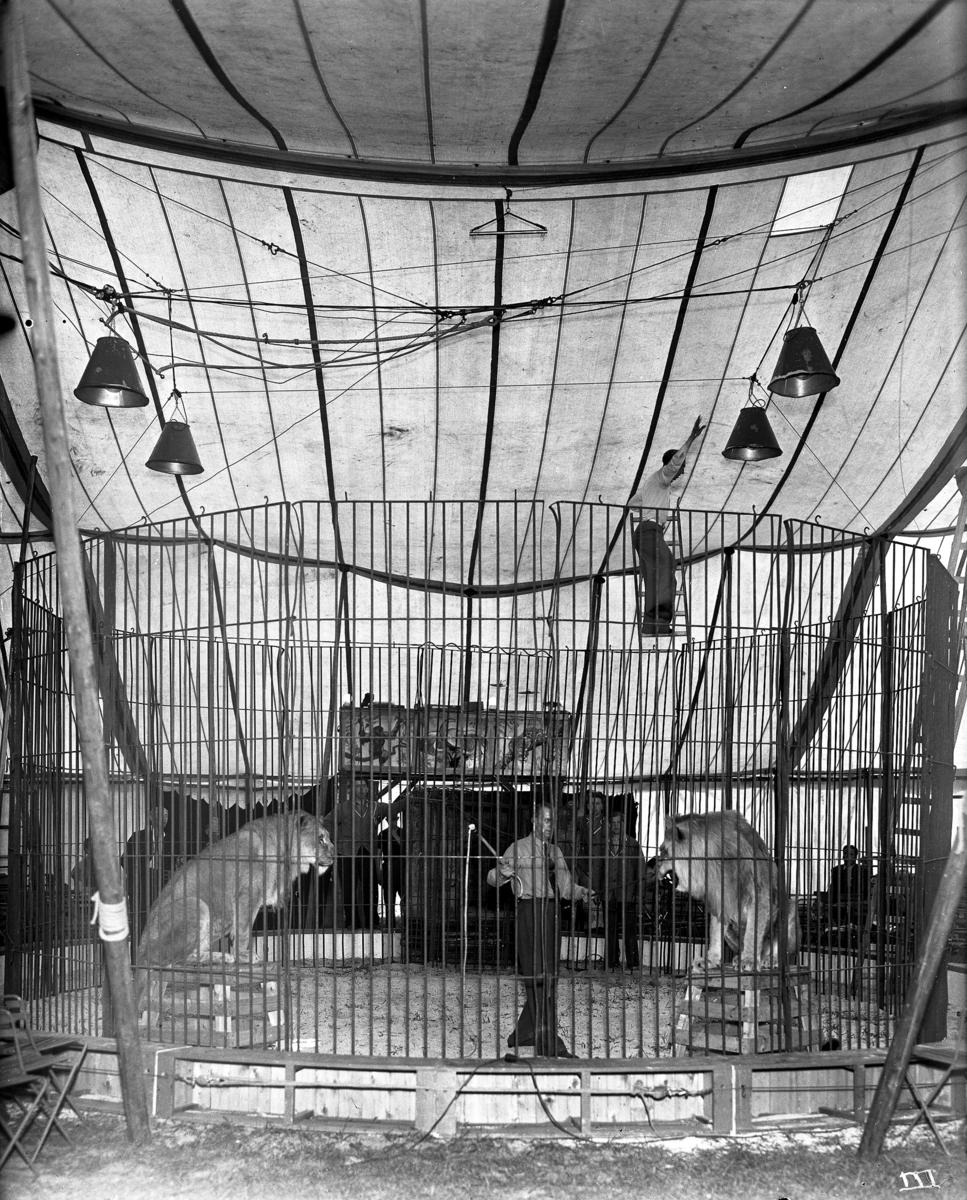 Løvebur på sirkus