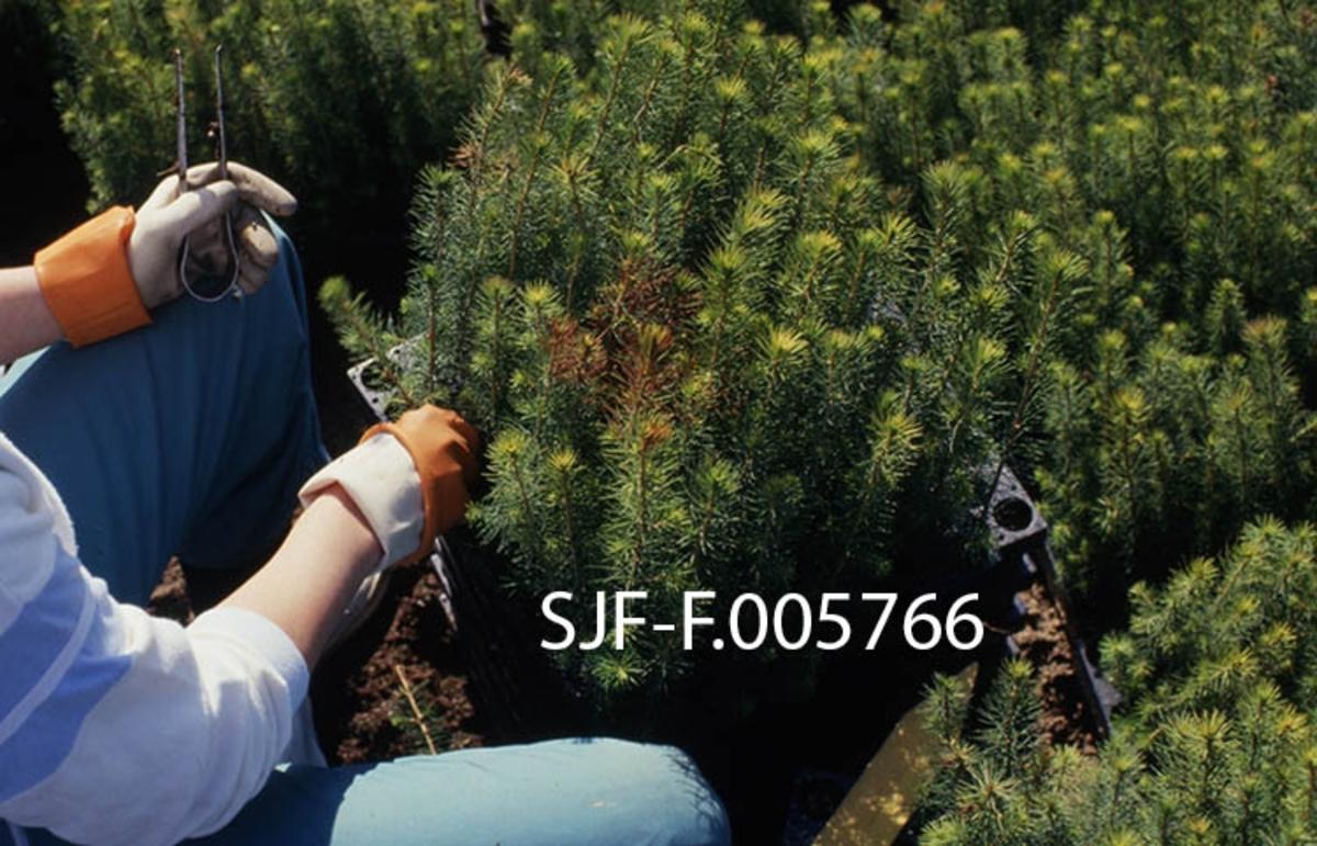 Nærbilde av plantesortering i pottebrett ved skogplanteskolen på Sønsterud i Åsnes i Hedmark våren 1988.  Vi ser ei kvinne som sitter med en stabel av pottebrett foran seg.  På det øverste brettet står det toårige granplanter.  Planteskolemedarbeideren, som har hansker på hendene for å beskytte dem mot nålestikk, holder ei kort lekt i den høyre handa.  Den stikkes mellom radene på brettet, slik at plantene kan bøyes til side, så den som skal sortere får sett an hver enkelt plante.  Planter som hadde feil som kunne antas å prege det videre livsløpet (som kortvoksthet, splittet topp, gankvist eller misfarget bar) ble plukket vekk og erstattet av feilfrie pluggrotplanter før brettet var leveringsklart.  Om lag en tredel av produksjonen ble vekksortert i samband med slik sortering.  I 1985 fikk Sønsterud planteskole ei ny, innendørs pakkelinje hvor sortering og pakking ble utført etter samlebåndprinsippet.  Dette effektiviserte prosessen, og frilandssortering utendørs ble derfor mindre og mindre praktisert på den tida dette fotografiet ble tatt.